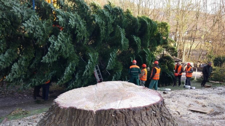 Bruselské hlavné námestie bude zdobiť vianočný strom z Horných Orešian, foto 3