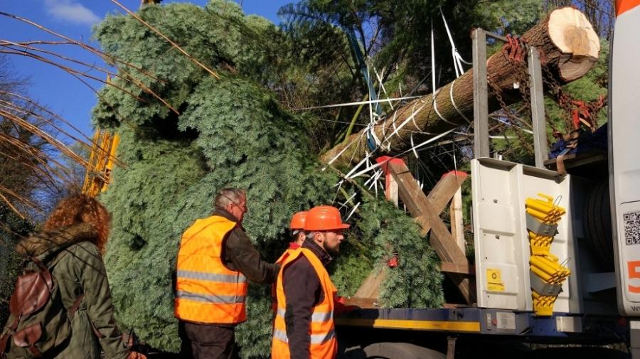 Bruselské hlavné námestie bude zdobiť vianočný strom z Horných Orešian, foto 5